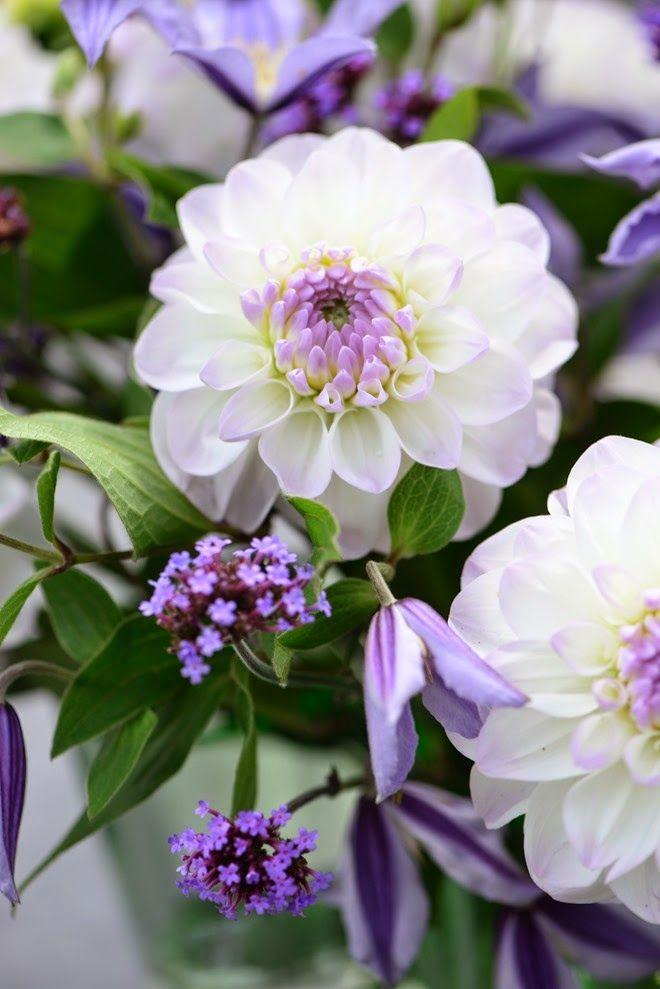 Fiori Bianchi E Viola.White And Purple Dahlia Fiori Bellissimi Fiori E Fiori Rari
