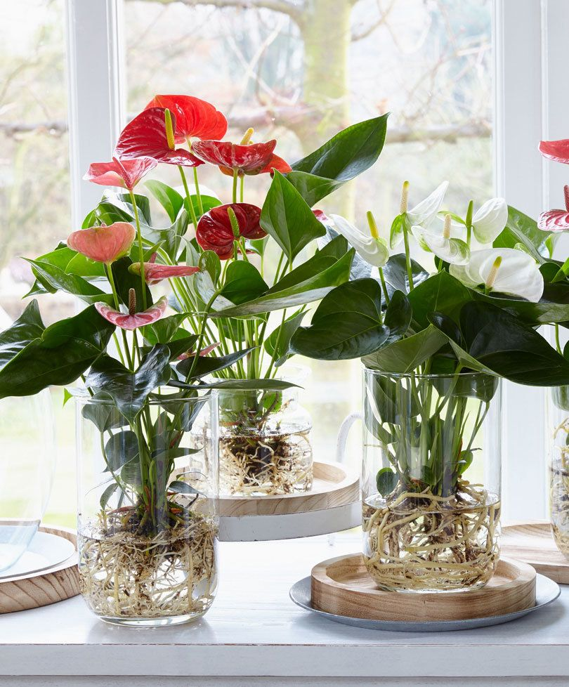 Indoor Plants Grown In Water: Bare-rooted Anthurium Growing In Water