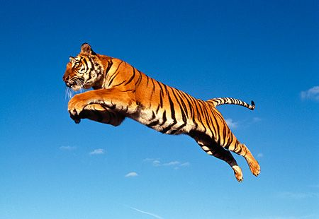 Leaping cat   Animals   Pinterest   Cat and Animal
