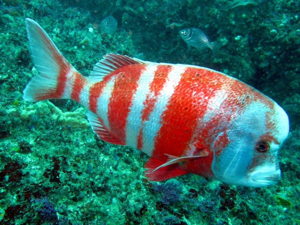 red stump nose chrysoblephus gibbiceps red list fish in south
