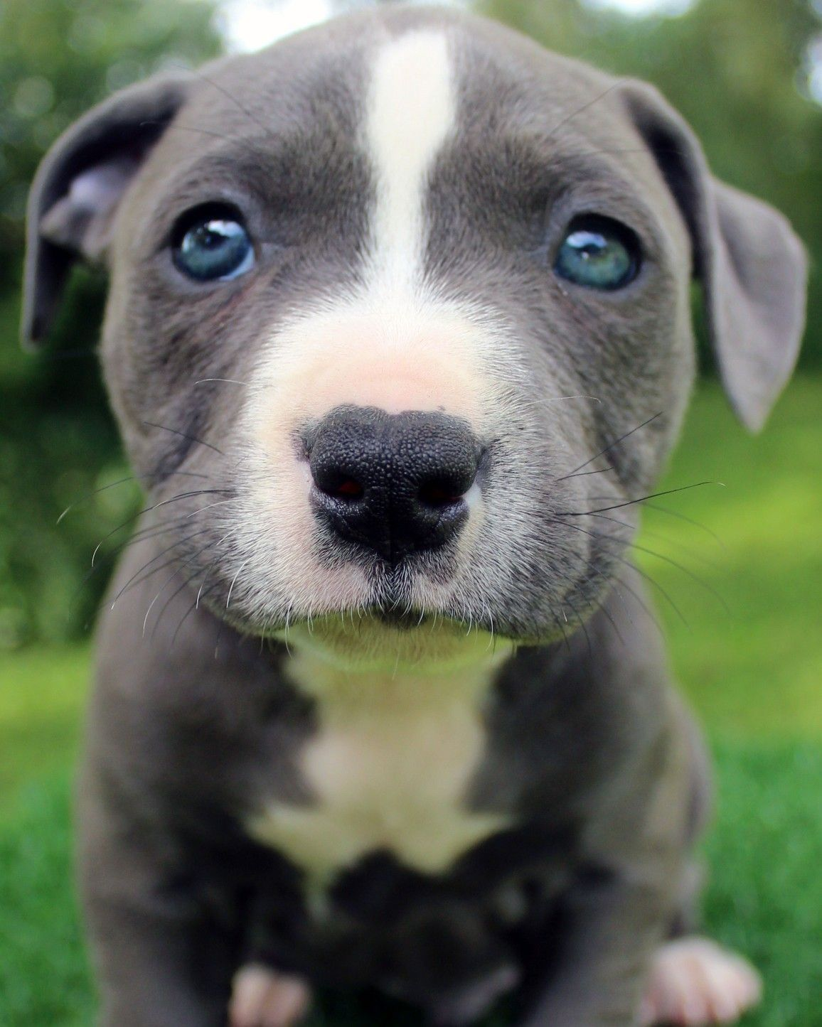 Here Is A Photo Of An Amazing Male Blue Pitbull Puppy That We Have