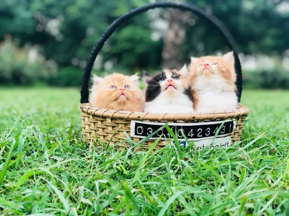 Healthy Male Female Kittens For Sale Lahore Kitten For Sale