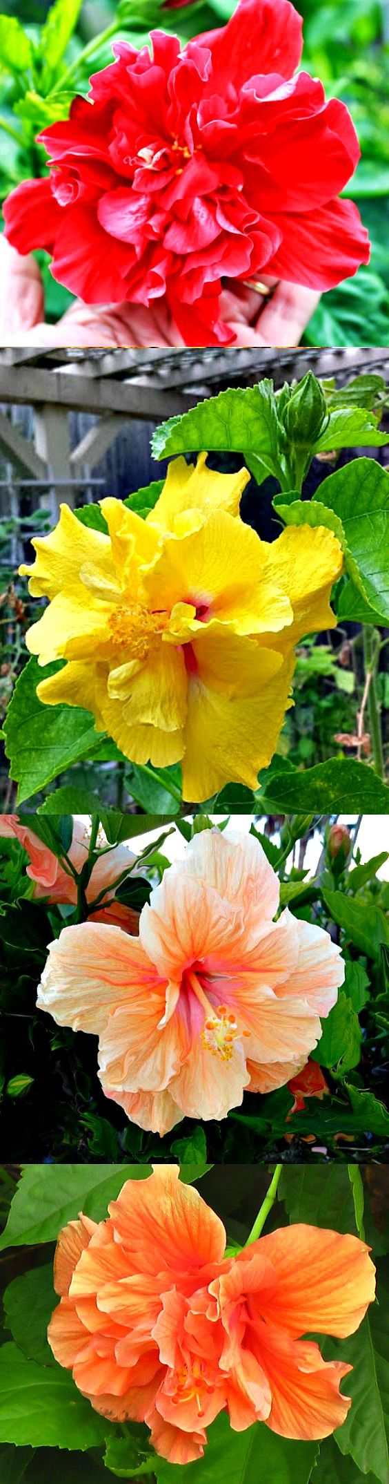 Hibiscuses Come In A Floral Rainbow Of Colors Color Meanings Differ