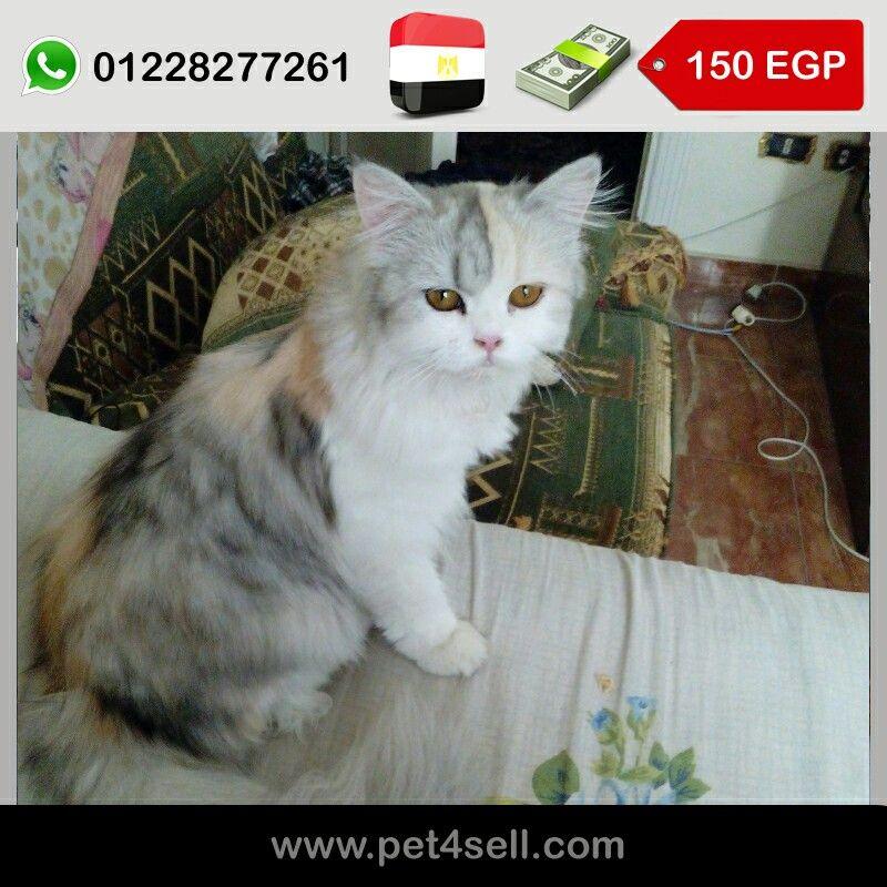 مصر الأسكندرية قطة شيرازي للبيع مون فيس عمر 8 شهور متطعمة سعار وديدان ومعاها دفتر صحة Pet4sell Cats Animals