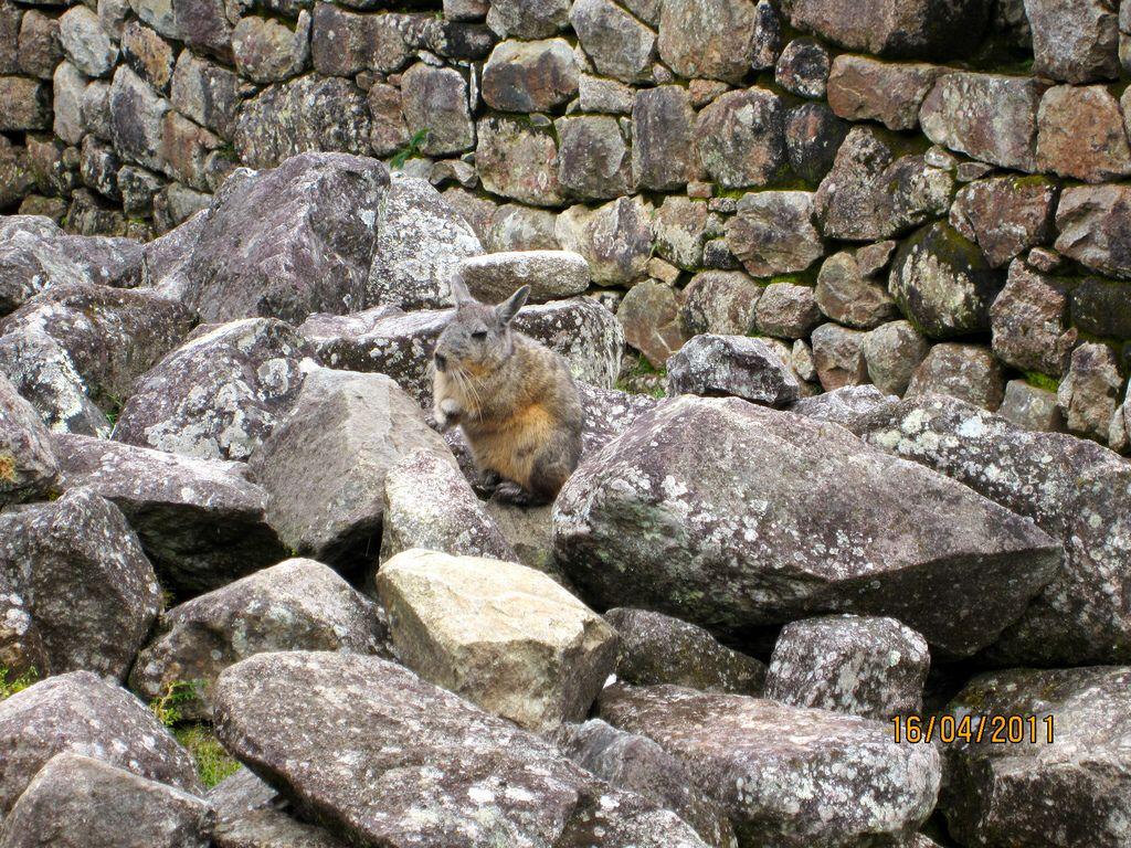 Chinchilla atop Machu Picchu 2011