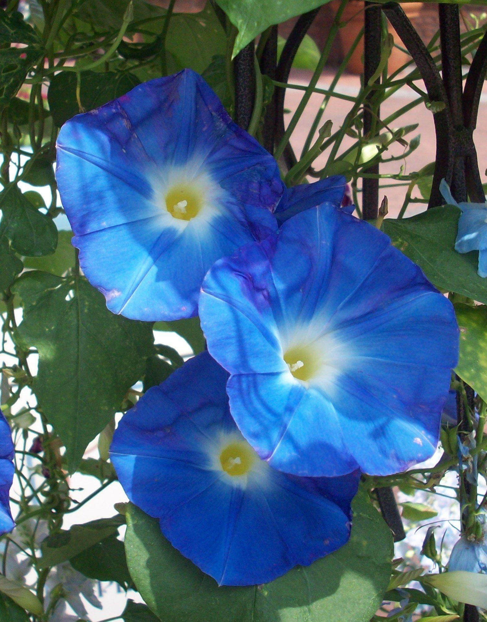 Morning Glory Clark S Heavenly Blue Flowers Nature Blue Flowers Morning Glory