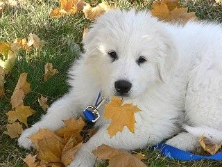 Pyrenees In Fall Great Pyrenees Beautiful Dogs Dogs Puppies