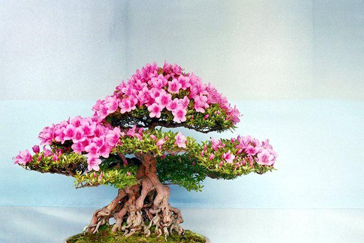 Bonsai 929