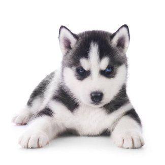 Siberian Husky Names For Unique Male Female Huskies Husky Dog