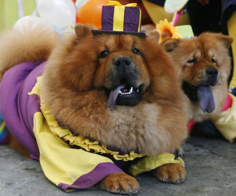 Two Chow Chows Dressed In Clown Costumes Are Seen During A Halloween Fund Raising Event In Quezon City Dog Costumes Funny Chow Chow Dogs Funny Dogs