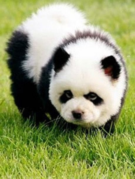 Idea By Maria Davis On Panda Dogs Panda Dog Panda Puppy Cute