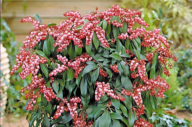 Top 10 Shrubs For Your Small Space Garden Pieris In A Container