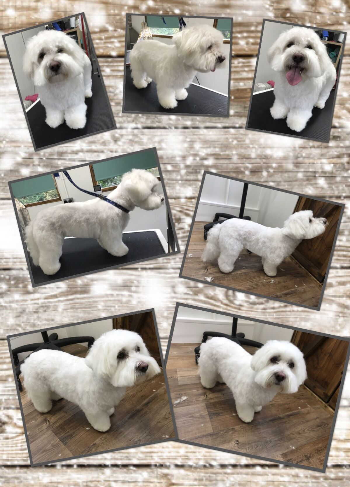Coton De Tulear Groomed By Small Paws Dog Grooming With Images