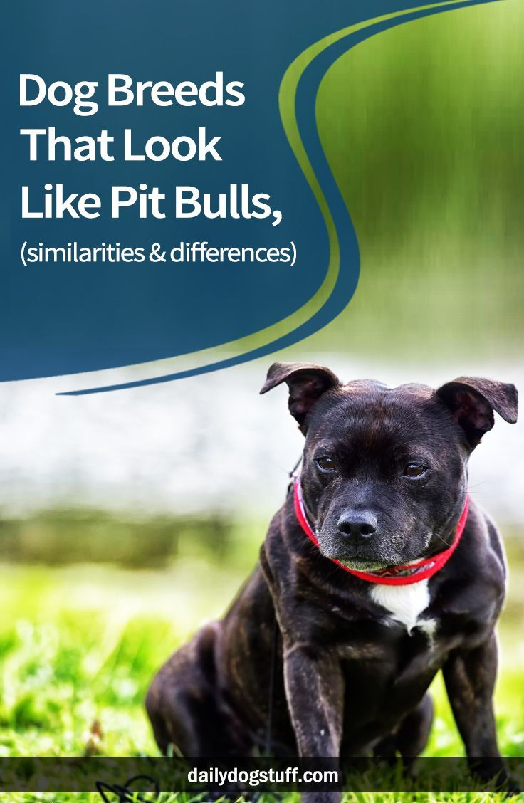 Dog Breeds That Look Like Pit Bulls, (similarities & differences) is part of Dog Breeds That Look Like Pit Bulls Similarities - Pit Bulls are unique dogs that have a bit of a controversial history  They're known for their squared faces, perked up ears, and signature 'Pit smile ' However, to those that are less familiar with these canines, the term 'Pit Bull' conjures up thoughts of aggression As a result, many jurisdictions are introducing breedspecific legislation  Pit Bulls are banned from communities, housing complexes, and entire cities across the country just because of their perceived aggression As with any dog, the temperament and attitude of a Pit Bull is a direct result of their surroundings and care  Many Pit Bulls are raised to be