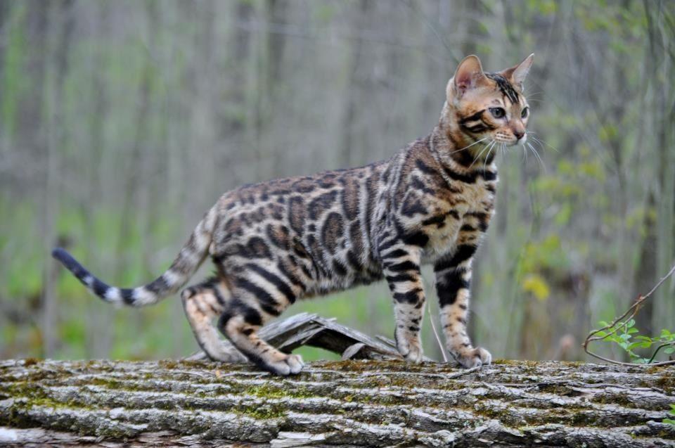 Awww! Pretty Bengal...like my Myuki :)