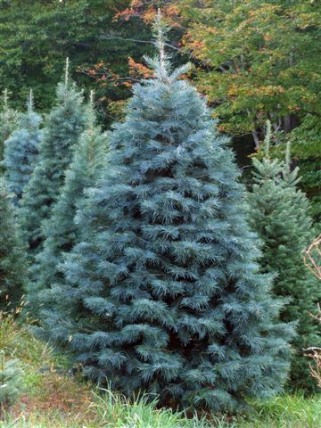 Concolor Fir smells like citrus! | The Holidays and Such ...