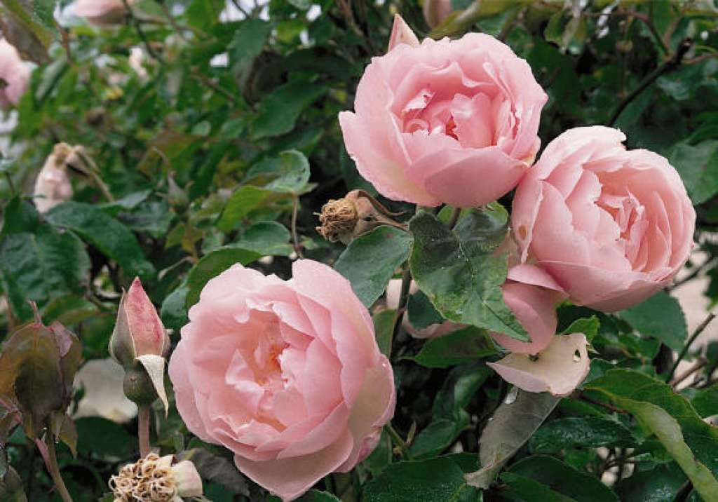 225b319787be  Duchess de Brabant  has been designated an Earth Kind rose. More on the