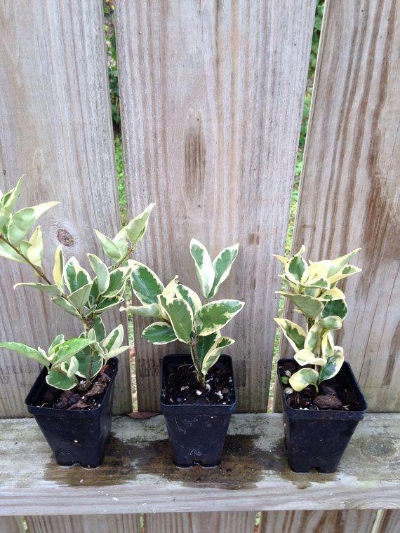 Variegated Ligustrum Privet Evergreen Shrub by arborfieldplants