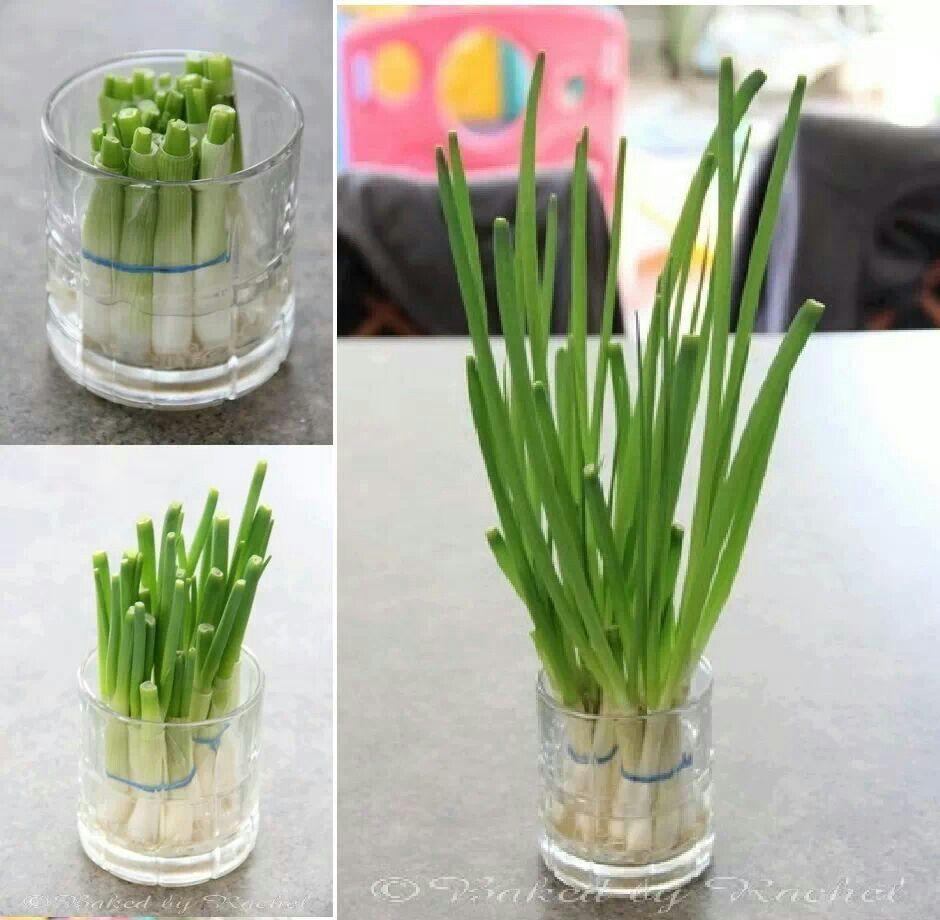 Continental green onions regrow vegetables organic