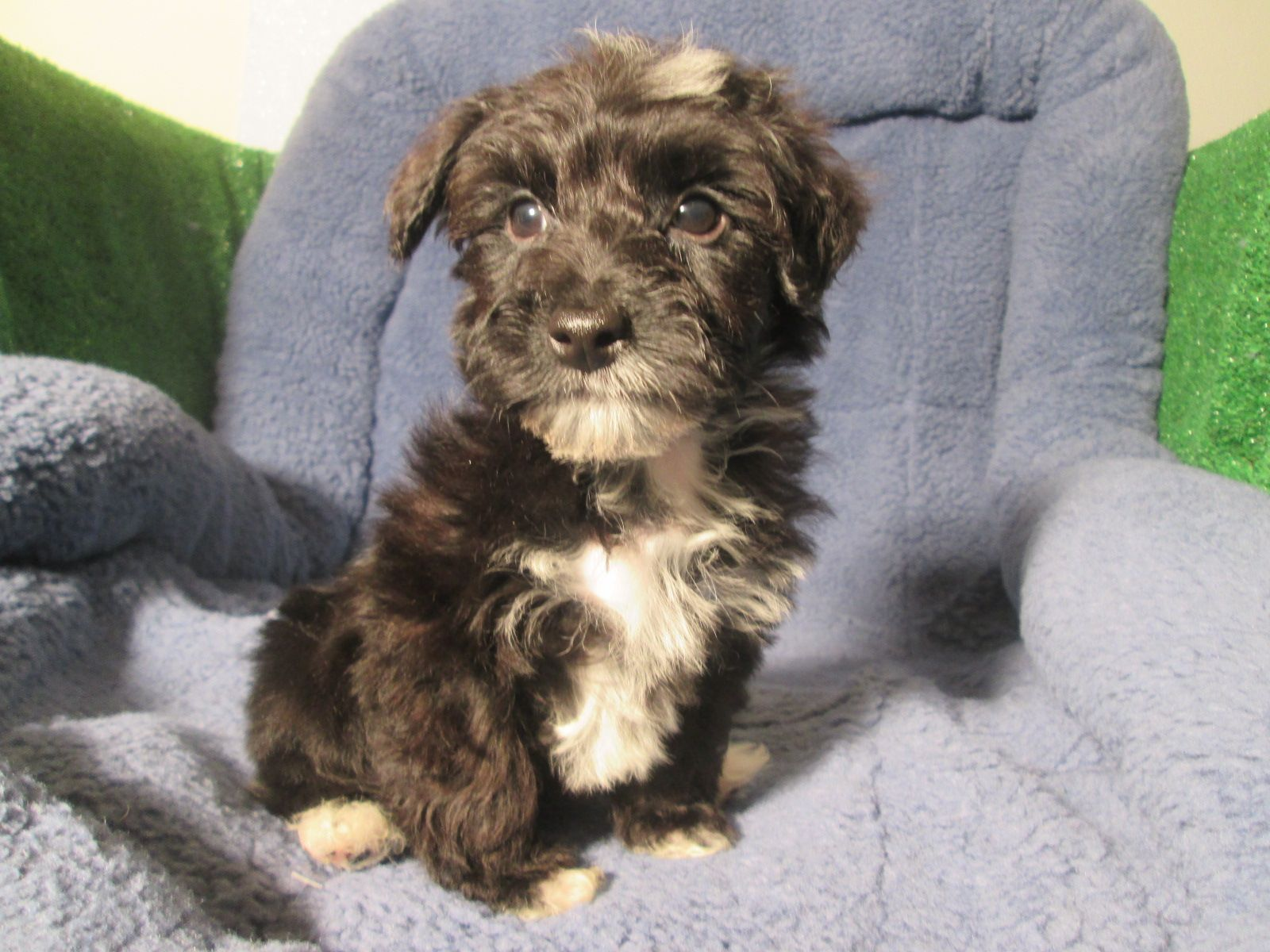 Attractive Yorkiepoo Puppies Available Yorkie X Poodle 8 12