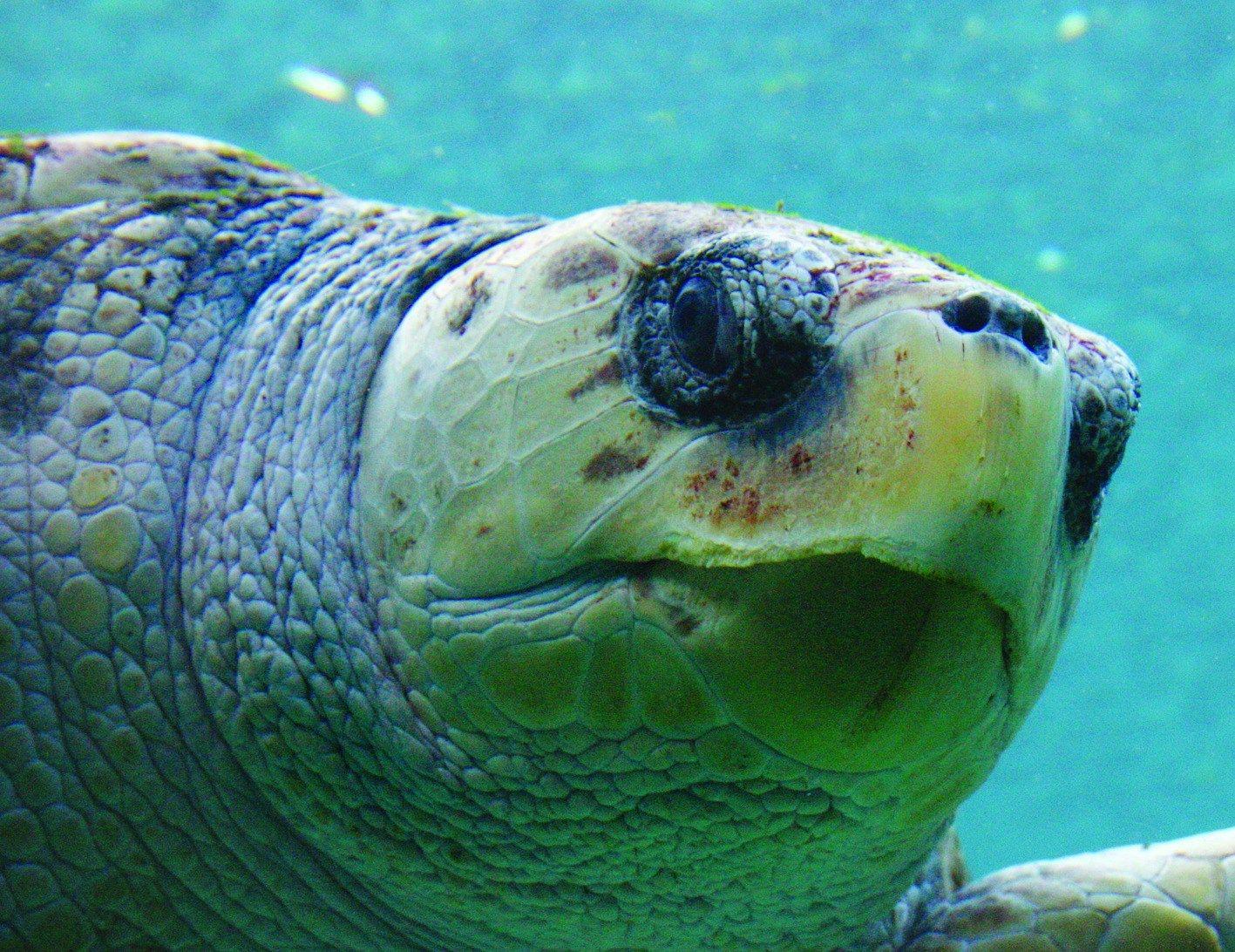 Bob, our 'elderstateswoman' Loggerhead Sea Turtle, and