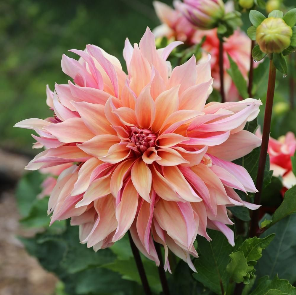 Dahlia Labyrinth A Watercolor Blend Of Apricot Soft Pink And Old Rose Long Shapely Petals Curl And Twist In Differe Flower Farm Flower Garden Dahlia Flower