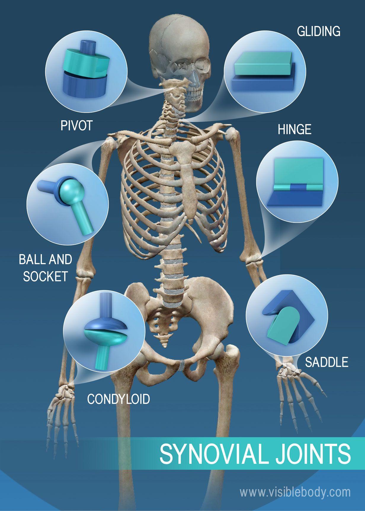 The range of motion in synovial joints: pivot, ball and socket ...