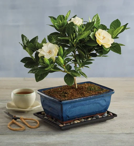 Gardenia Bonsai Tree Gift Bonzai Trees For Sale Harry David