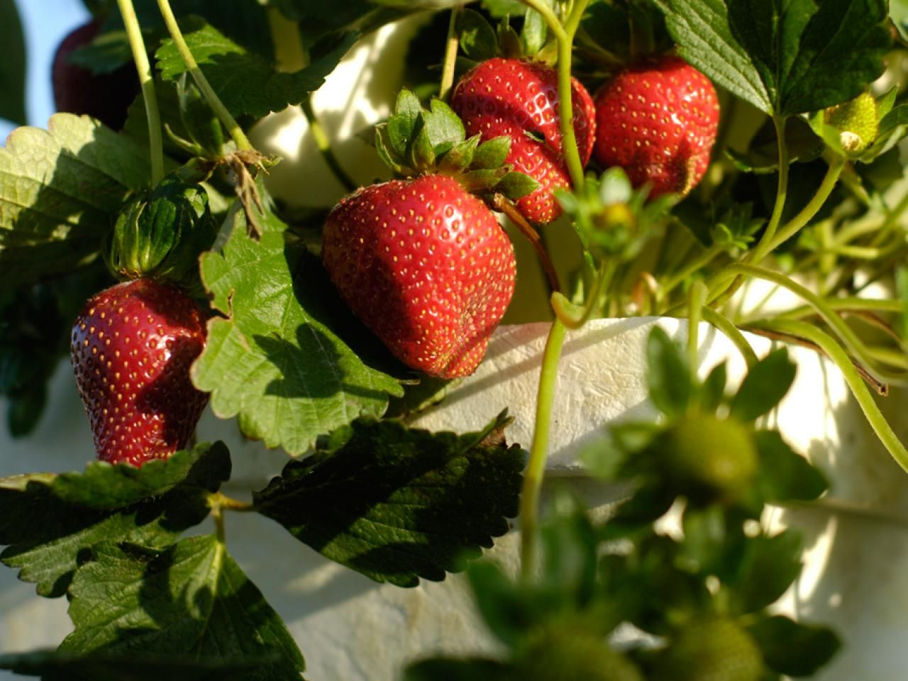 Companion Planting Is An Excellent Way To Improve Your Garden Some Plants Replenish Growing Strawberries Strawberry Plants Growing Strawberries In Containers