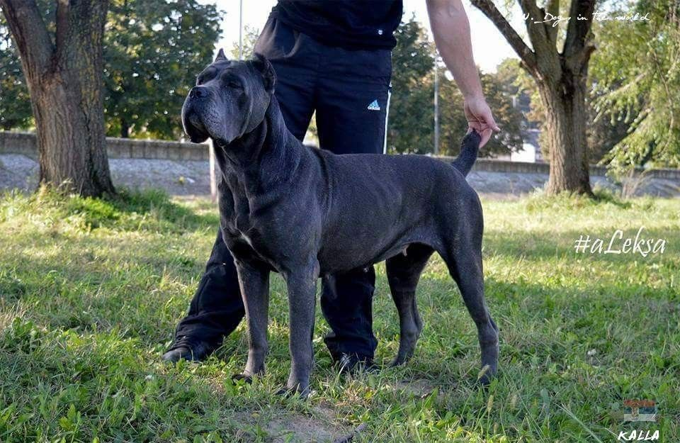 Kalla From Serbia Cane Corso Labrador Retriever Dogs