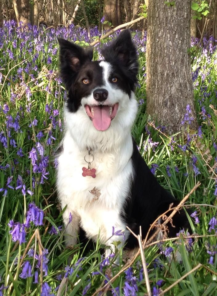 Love Border Collies Herding Dogs Border Collie Collie
