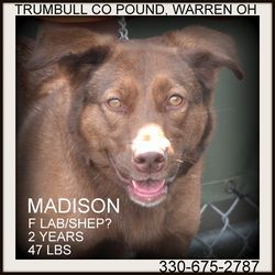 Adopt Madison Prison Training Graduate On Labrador Retriever Dog Chocolate Labrador Retriever Pet Search
