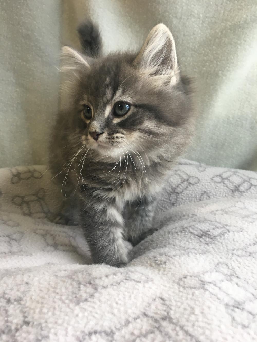 Adopt Fluffaluffagus On Cat Adoption Help Homeless Pets Homeless Pets
