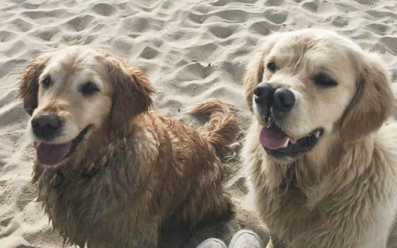 In a world full of ordinary, dare to be different – and this adorable Golden Retriever is definitely different. Wallis was born with a birth defect that left him with two noses – yes, double the noses, double the fun.