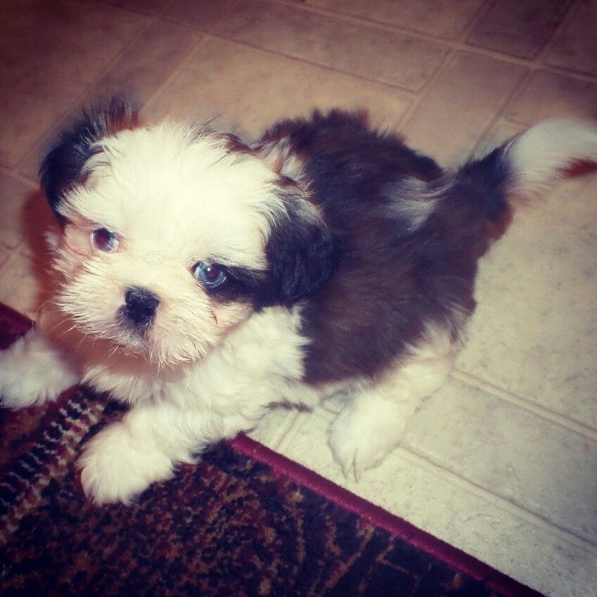 Blue Eyed Shih Tzu Puppy Our Little Guy At 6 Weeks Old Our Blue
