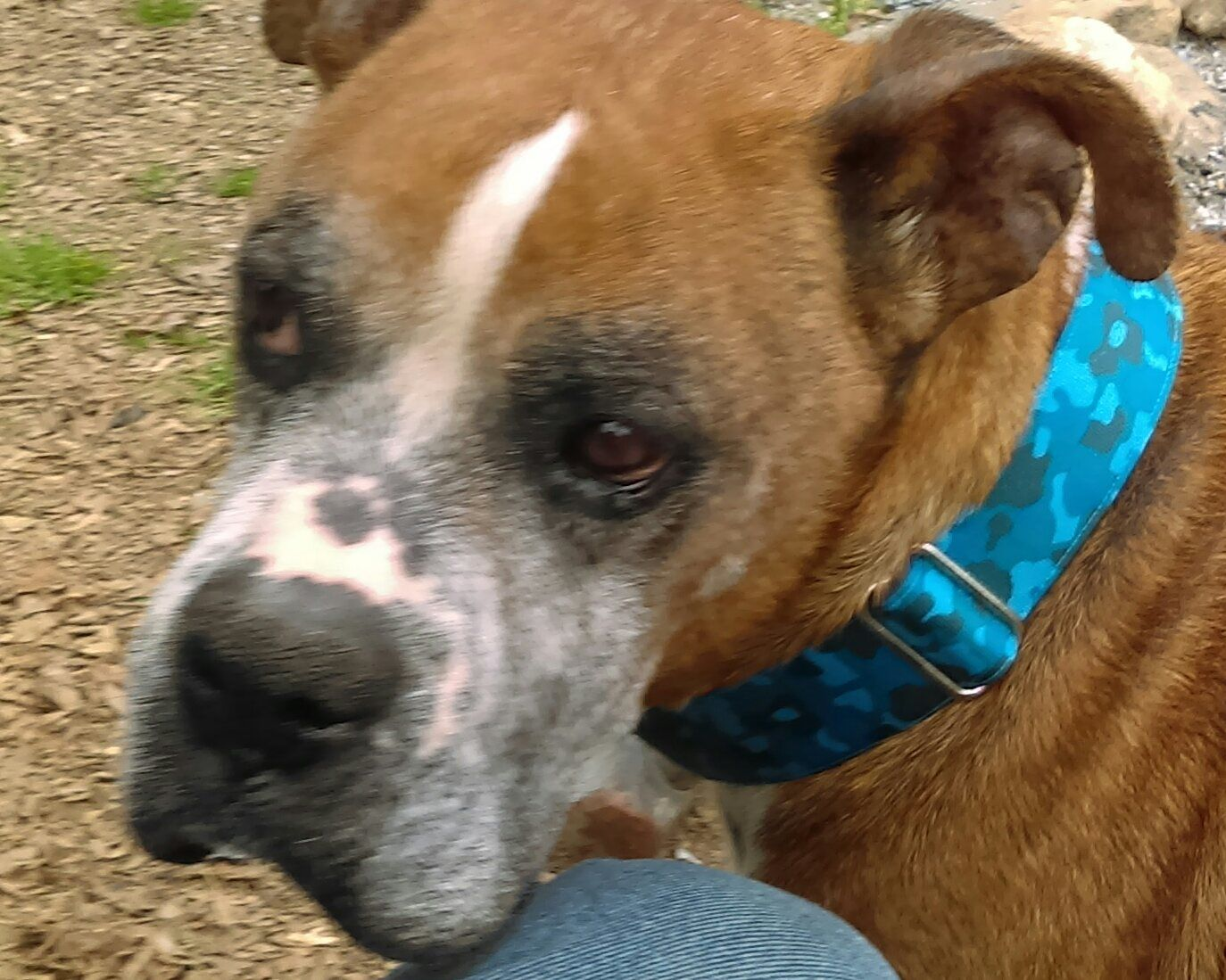 Boxer dog for Adoption in Thomasville, NC. ADN541738 on