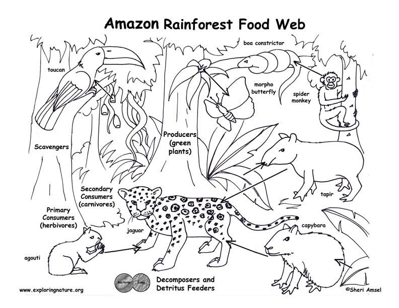 Food Chain Coloring Pages Higher Resolution Pdf For Downloading Rainforest Food Web Rainforest Food Chain Rainforest