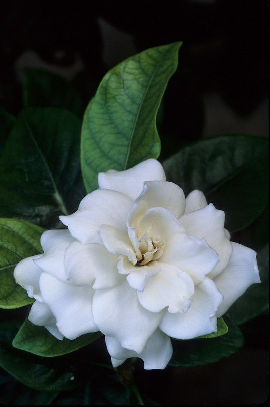 Gardenia Flower By Dency Kane Smelling Flowers Love Flowers Amazing Flowers