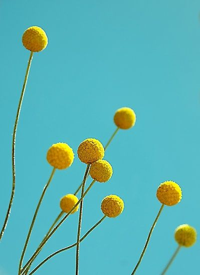 Billy Buttons Love These Unusual Little Flowers Billy Buttons Unusual Plants Pretty Flowers