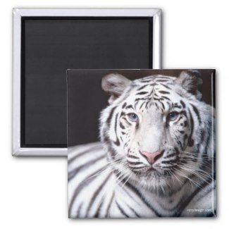 White Bengal Tiger Photography Magnet  White Bengal Tiger Photography Magnet