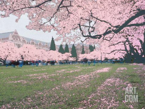 Japanese Cherry Trees And Students On The University Of Washington Campus Seattle Washington Usa Photographic Pr Japanese Cherry Tree Cherry Tree Framed Art