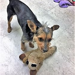 Pin By Lea Nichols On Helping Precious Animals Small Terrier