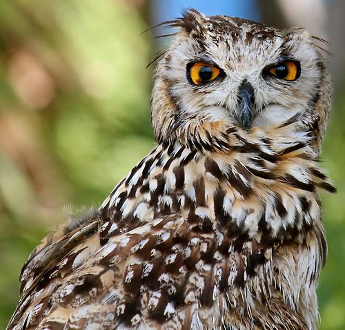 Owl Staring by Lucas Planelles