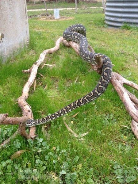 Reptiles Down Under 6 Yo Male Coastal Carpet Python Reptiles Pet Snake Reptiles Pet