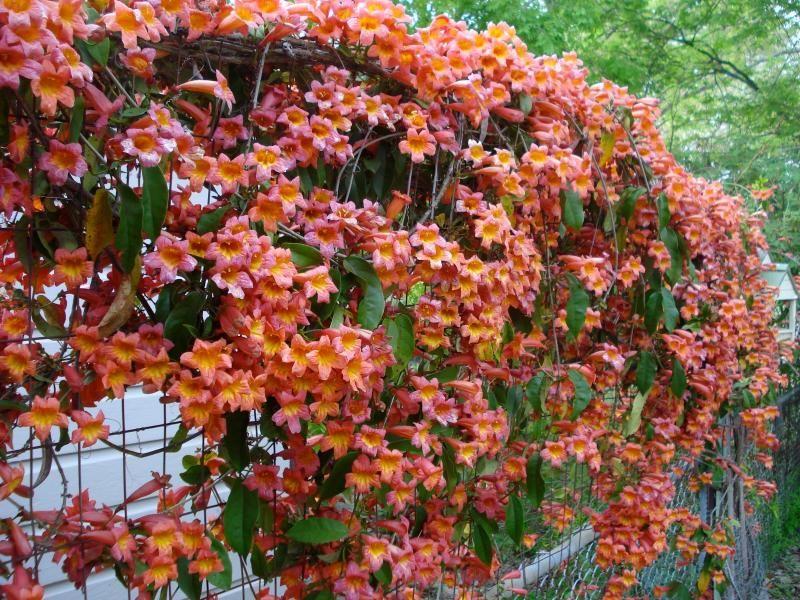 Crossvine Evergreen Vines Texas Native Plants Flowering Vines