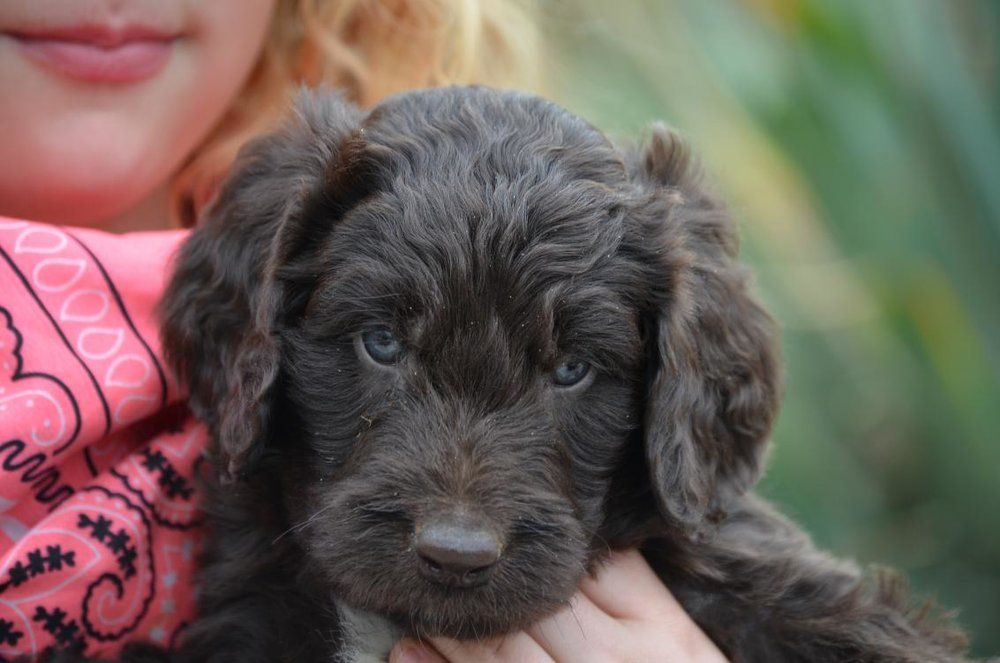 What We Do Newfiedoodles Newfypoos Puppies For Sale Poodle