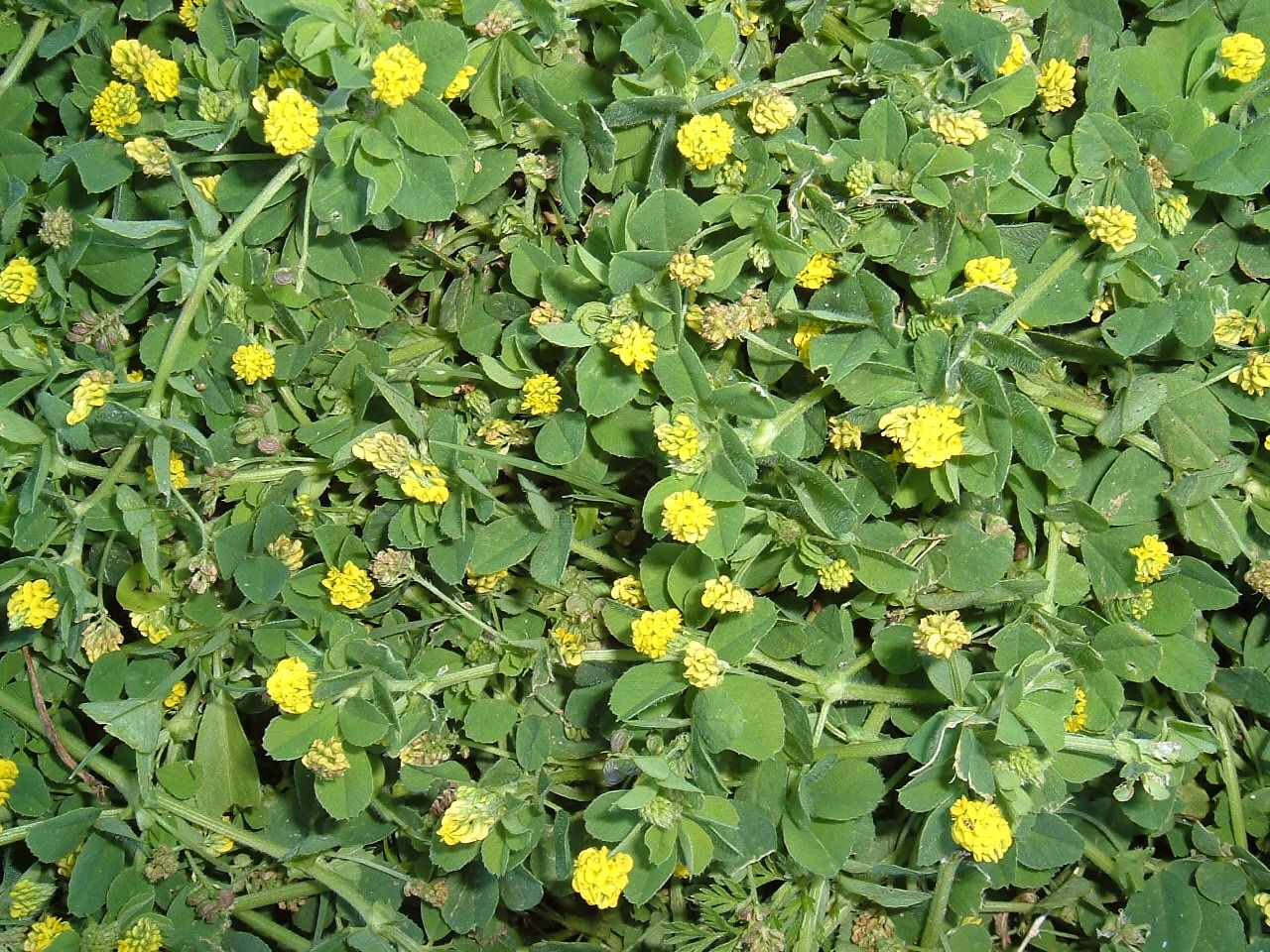 Black Medic Clover Lawn Weed May 13 2015 Black Mediclesseryellow