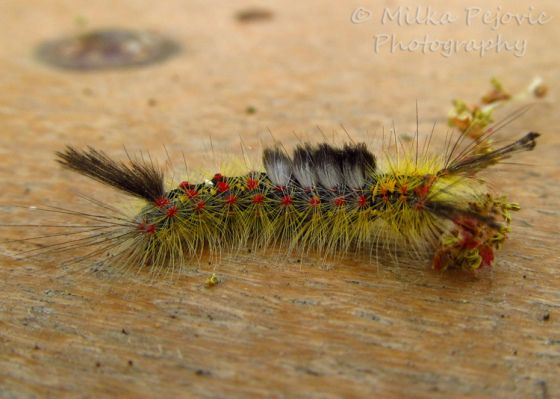 Wordpress Weekly Photo Challenge Foreshadow Butterfly Photos Photo Fuzzy Caterpillar