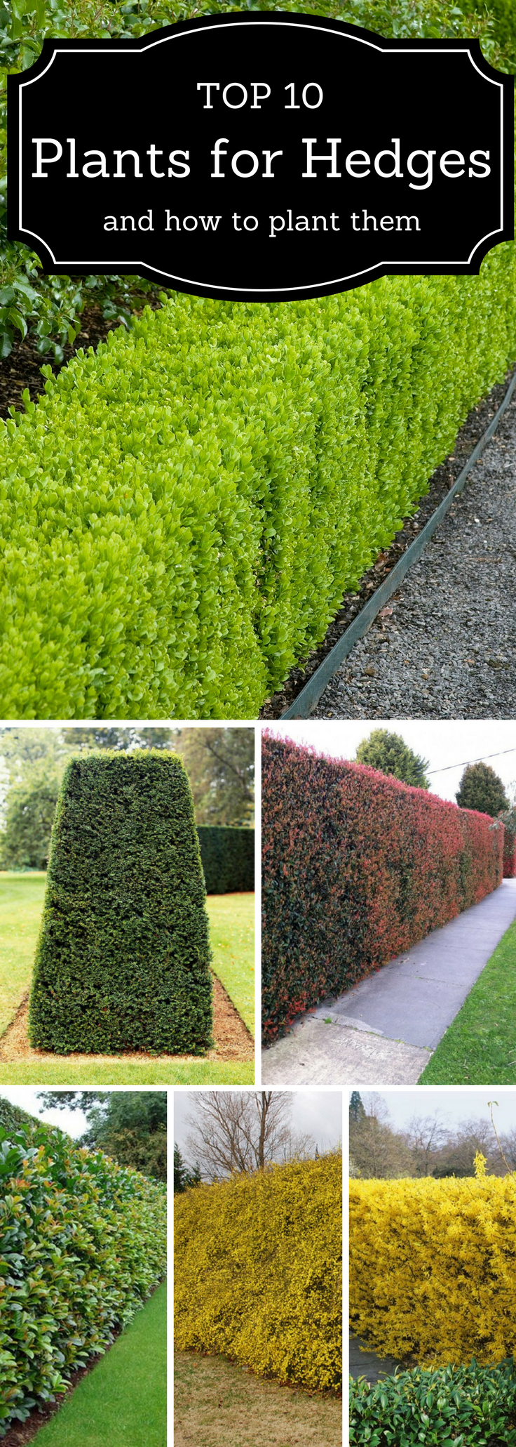 Top 10 Best Plants For Hedges And How To Plant Them Garden Hedges Hedges Landscaping Backyard Landscaping Designs