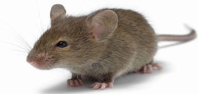 تفسير رؤية الفأر في المنام للعزباء والمتزوجة والحامل Irish Spring Soap Irish Spring Getting Rid Of Mice